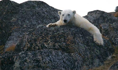 Rusland heeft te maken met invasie van ijsberen door klimaatverandering