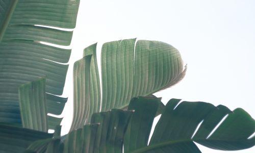 Kunnen plastic verpakkingen vervangen worden door bananenbladeren?
