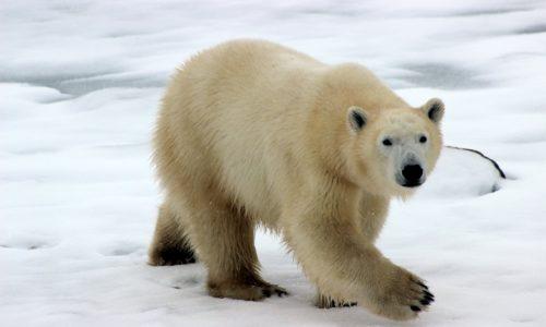 De ijsbeer is in gevaar: sneller uitgestorven door klimaatverandering dan gedacht